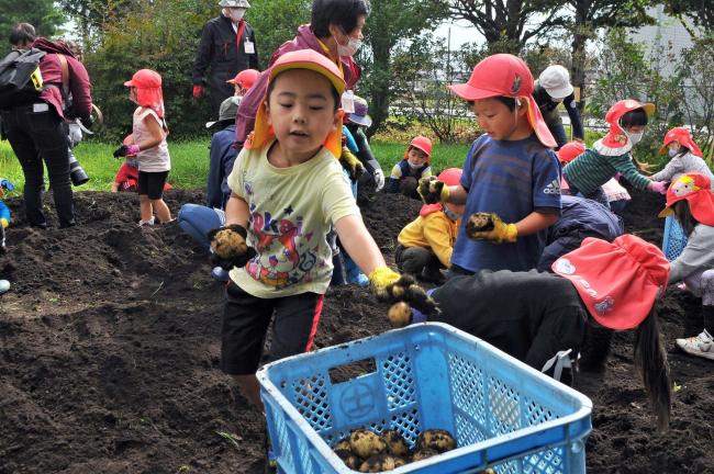 認定こども園の園児がイモ掘り体験 上士幌