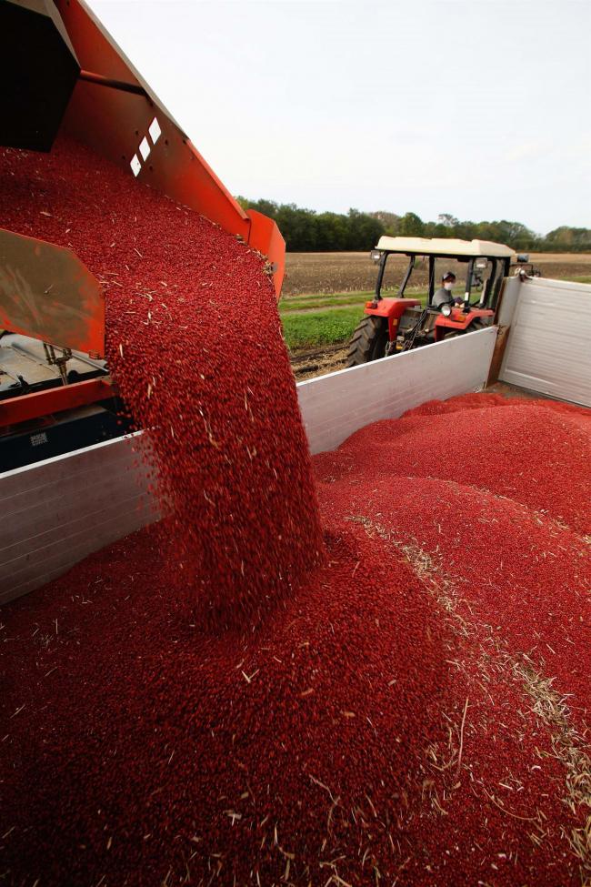 小豆の収穫ピーク 例年より生育早く