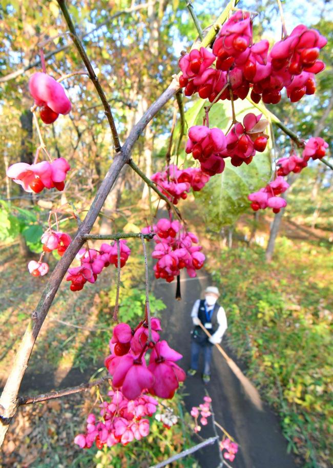 深まる秋 帯広市野草園でマユミの実が見頃