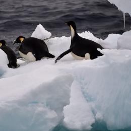 流氷上から海に飛び込むコウテイペンギン