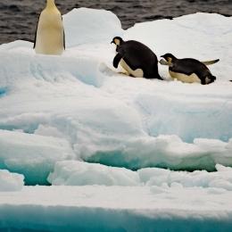 船を見て海に飛び込むコウテイペンギン