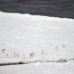 定着氷縁でたたずむアデリーペンギン