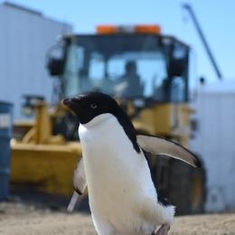 昭和基地の作業現場を入ってきたアデリーペンギン
