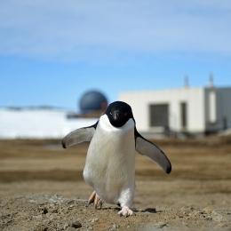 昭和基地内を闊歩するアデリーペンギン