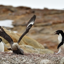 (1)ひなを狙うナンキョクオオトウゾクカモメ(左)に猛突進して撃退する成鳥
