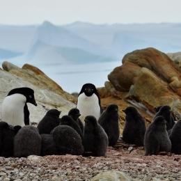 (2)アデリーペンギンの繁殖地になっている昭和基地付近の小島、オングルカルベン。遠くには氷山が見える