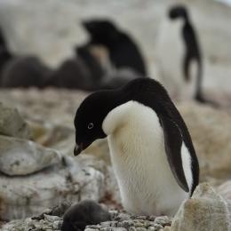 (3)死んでしまっているひなをいつまでも見守る親ペンギン