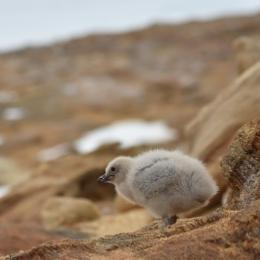 (5)ペンギンの繁殖地の近くの岩場に隠れるナンキョクオオトウゾクカモメのひな