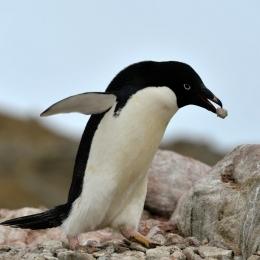 (8)くちばしで石を運ぶアデリーペンギン