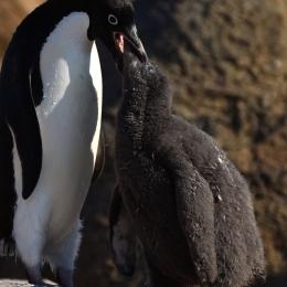 親鳥から餌をもらうひな鳥(1月21日)