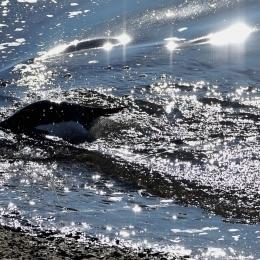 泳ぐアデリーペンギン(1月21日)