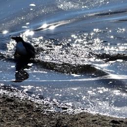 海から顔を出すアデリーペンギン(1月21日)