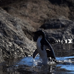 水しぶきを上げながら上陸するアデリーペンギン(1月21日)