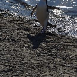 陸に上がって駆け出すアデリーペンギン(1月21日)
