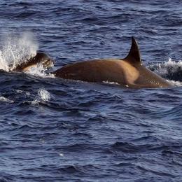 ケーシー基地の沖合で見られたイルカ (2)