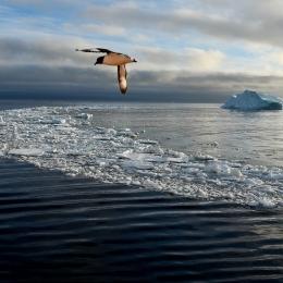 海氷の上を飛ぶマダラフルマカモメ