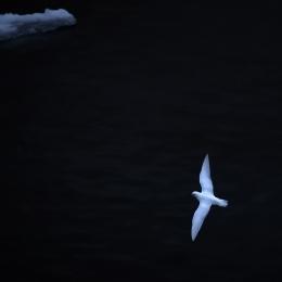 日没後に飛ぶユキドリ
